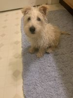 Scottish Terrier Puppies for sale in Reading, PA, USA. price: NA