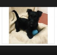 Scottish Terrier Puppies for sale in Stroudsburg, PA 18360, USA. price: NA