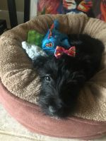 Scottish Terrier Puppies for sale in Carlisle, PA 17013, USA. price: NA