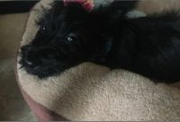 Scottish Terrier Puppies for sale in Fort Worth, TX, USA. price: NA