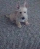 Scottish Terrier Puppies for sale in Rochester, NY, USA. price: NA