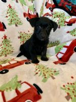 Scottish Terrier Puppies for sale in Lake Worth, TX, USA. price: NA