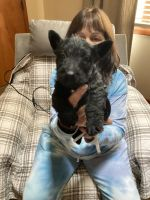 Scottish Terrier Puppies for sale in Hampton, VA, USA. price: NA