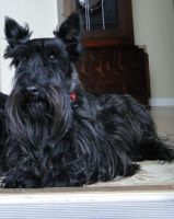 scottish terrier dog