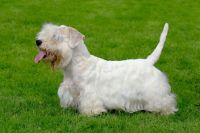 Sealyham Terrier Puppies for sale in OR-99W, McMinnville, OR 97128, USA. price: NA