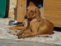 segugio italiano dog