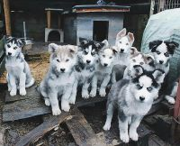 Seppala Siberian Sleddog Puppies Photos