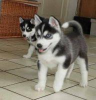 Serbian Mountain Hound Puppies for sale in Akutan, AK, USA. price: NA