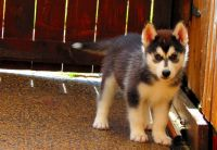 Serbian Mountain Hound Puppies for sale in Los Angeles, CA, USA. price: NA