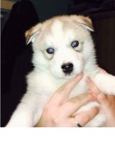 Serbian Mountain Hound Puppies for sale in Cleveland, OH, USA. price: NA