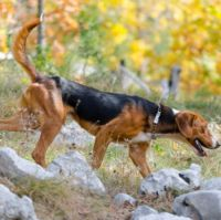 serbian tricolour hound dog