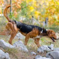 serbian tricolour hound dog