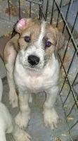 Shepard Labrador Puppies Photos