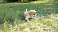 shepard labrador dog