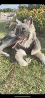 Shepherd Husky Puppies for sale in Stillwater, OK, USA. price: NA