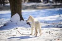 Shepherd Husky Puppies for sale in Monsey, NY 10952, USA. price: NA