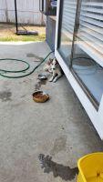 Shepherd Husky Puppies for sale in Corona, CA, USA. price: NA