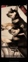 Shepherd Husky Puppies for sale in Maricopa, AZ, USA. price: NA