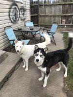 Shepherd Husky Puppies for sale in Lynn, MA, USA. price: NA