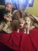 Shepherd Husky Puppies for sale in Grand Rapids, MI, USA. price: NA