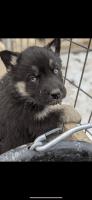 Shepherd Husky Puppies for sale in Denver, CO, USA. price: NA