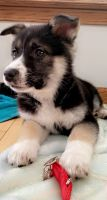 Shepherd Husky Puppies for sale in Clay, NY, USA. price: NA