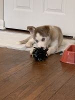 Shepherd Husky Puppies for sale in Columbus, OH, USA. price: NA