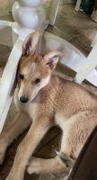 Shepherd Husky Puppies for sale in Sherman Oaks, Los Angeles, CA, USA. price: NA