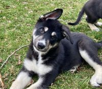 Shepherd Husky Puppies for sale in Shelbyville, KY 40065, USA. price: NA