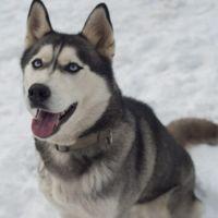 shepherd husky dog