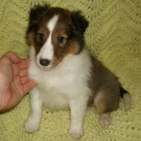 Shetland Sheepdog Puppies for sale in Portage, WI 53901, USA. price: NA