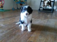 Shetland Sheepdog Puppies for sale in Lebanon, OR 97355, USA. price: NA