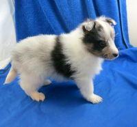 Shetland Sheepdog Puppies for sale in Astatula, FL 34705, USA. price: NA