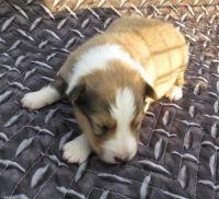 Shetland Sheepdog Puppies for sale in Austin, TX, USA. price: NA
