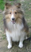 Shetland Sheepdog Puppies for sale in Houston, TX, USA. price: NA