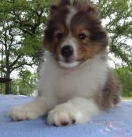 Shetland Sheepdog Puppies for sale in San Diego, CA, USA. price: NA