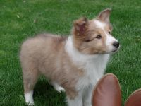 Shetland Sheepdog Puppies for sale in West Salem, OH 44287, USA. price: NA