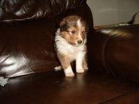 Shetland Sheepdog Puppies for sale in Walterboro, SC 29488, USA. price: NA