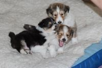 Shetland Sheepdog Puppies for sale in Los Angeles, CA, USA. price: NA