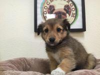 Shetland Sheepdog Puppies for sale in California, USA. price: NA