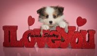 Shetland Sheepdog Puppies for sale in Canton, OH, USA. price: NA