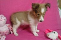 Shetland Sheepdog Puppies for sale in Rome, NY, USA. price: NA