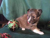 Shetland Sheepdog Puppies for sale in Nevada St, Newark, NJ 07102, USA. price: NA
