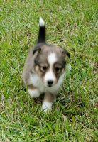 Shetland Sheepdog Puppies Photos