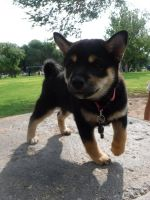 Shiba Inu Puppies for sale in Las Cruces, NM 88011, USA. price: NA