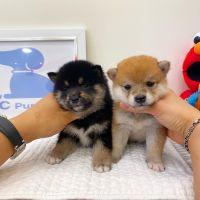Shiba Inu Puppies for sale in Chino Hills, CA, USA. price: NA