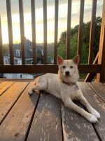 Shiba Inu Puppies for sale in Phillipsburg, NJ 08865, USA. price: NA