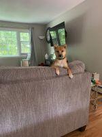 Shiba Inu Puppies for sale in Groton, CT, USA. price: NA