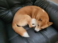 Shiba Inu Puppies for sale in Cold Spring, MN 56320, USA. price: NA