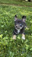 Shiba Inu Puppies for sale in Midland Park, NJ 07432, USA. price: NA